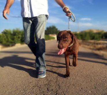 Labrador retriever on a walk