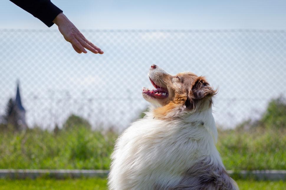 Training animal obedience